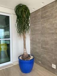 Vaso Decorativo + Planta Pata de Elefante