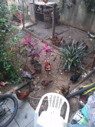 17 galinhas e 2 galos