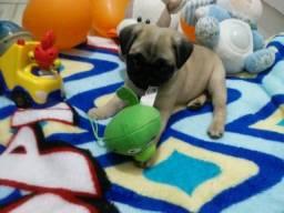 Pug pug pug macho