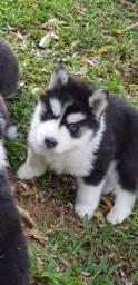 Lindos Filhotes De Husky Siberiano - Pelagem Wooly