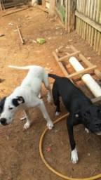 Vendo 2 cachorros raça box