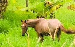 Égua Alazã Quarto de Milha