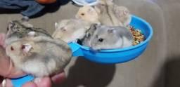 Hamsters 6 reais, só vendo acima de 5