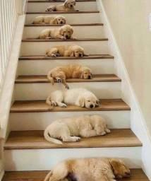 Filhotes perfeitos de Labrador