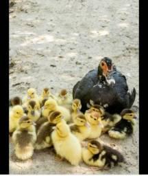 Patos de diversos tamanhos