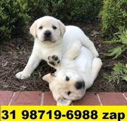 Canil Filhotes Cães Selecionados BH Labrador Pastor Akita Rottweiler Golden