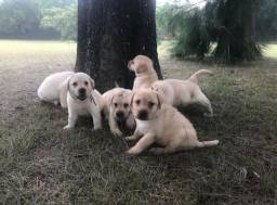 Título do anúncio: Filhotes perfeitos de Labrador