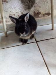 Vende-se mini coelho