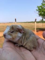 Título do anúncio: Porquinho da india filhote