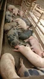 Vendo porcos para abate