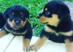 Rottweiler, 2 meses de vida, 4 filhotes para venda