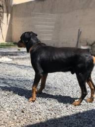 Doação cachorro rotweiler