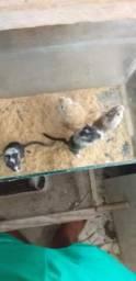Vendo gerbil (esquilo da Mongólia)