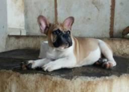 Promoção: Bulldog Francês macho com 5 meses pedigree
