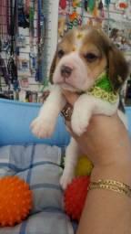 Beagle Femea com 2 meses