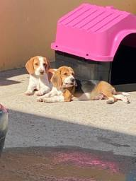 Lindíssimo casal de Beagle, macho tricolor,femea bicolor,4 meses