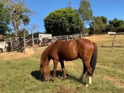 Cavalo macho Meio sangue QM