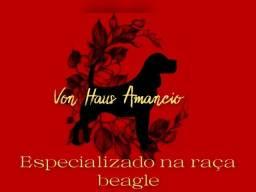 Título do anúncio: Filhote de cão da raça Beagle 02 machos disponível