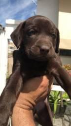 Vendo filhotes de Labrador olhos azuis