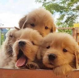 Golden fêmeas e machinhos com pedigree e garantias de vida e saúde!