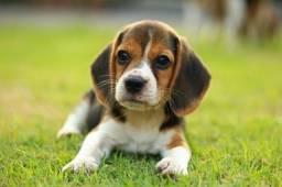 Beagle fêmeas e machinhos com pedigree e garantias de vida e saúde!