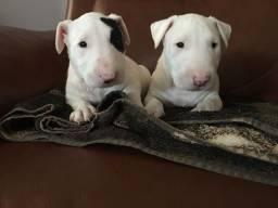 Bull Terrier - com Pedigree, Filhotes lindos - pronto pra retirada