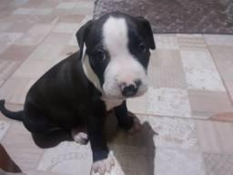 Vendo filhotes de Pitbull com 1 mês de nascimento