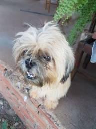 Procura-se cachorro lhasa para cruzar com meu cachorro lhasa pedigree