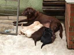Filhote Macho Chocolate de Labrador