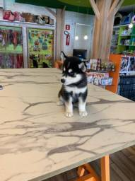 Husky siberiano femea disponível