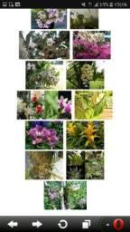 Orquidias ( mais conhecidas aq no amazonas como parasitas de arvores )