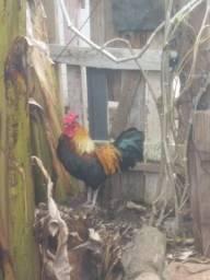 Galo, galinha e 3 franguinhos