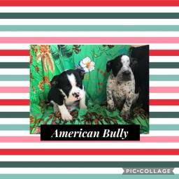 American Bully com pedigree e microchip em até 18x