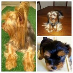 450rs Yorkshire terrier puro