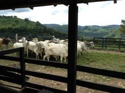 Arrendamento Fazenda Pecuária- Gado