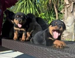 Rottweiler padrão alemão, machos e fêmeas disponíveis / * whats