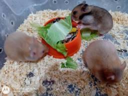 Filhote de Hamster Sirio