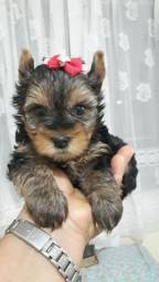 Yorkshire Terrier fofos