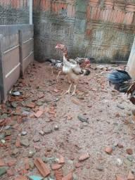 Galo e galinha indiana