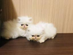 Filhotes de persa show disponíveis