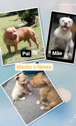 "?Pit Monster x Bulldog Americano ""INSERÇÃO""  COM PEDIGREE PIT MONSTER?"