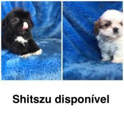 Shitzu com pedigree e micro chip em até 18x