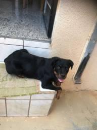 Rottweiler Fêmea 3 meses e meio com Pedigree