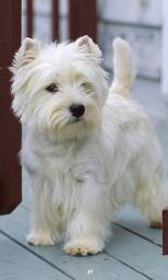 West-terrier
