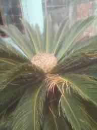 Vendo palmeiras cica
