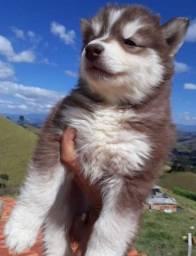 Título do anúncio: Lindas fêmeas husky siberiano mais informações chamar zap descrição do anúncio