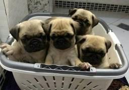 Título do anúncio: Pug M/F padrão da raça,lindos filhotes, com suporte veterinário!! $$