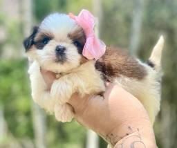 Maravilhosa Fêmea Mini shih tzu com pedigree
