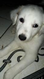Vendo filhote de labrador com rottweiler 45 dias
