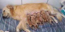 Filhotes de Golden Retriever + Lindos + Fofos e saudáveis
